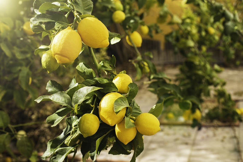 comment arroser le citronnier