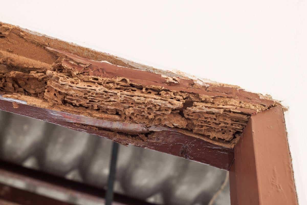 Le Languedoc-Roussillon toujours envahi par les termites